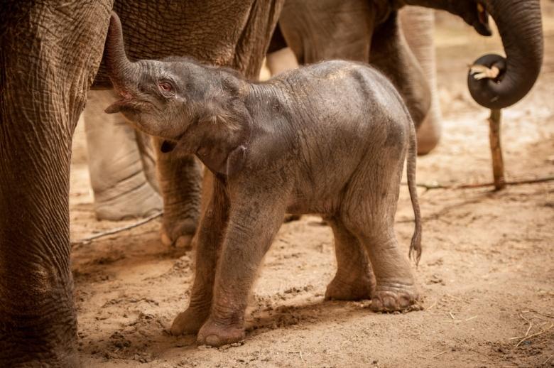 baby-olifant-qiyo-planckendael-jonas-verhulst2